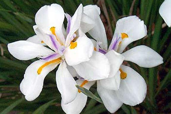 Dietes Vegata or butterfly iris