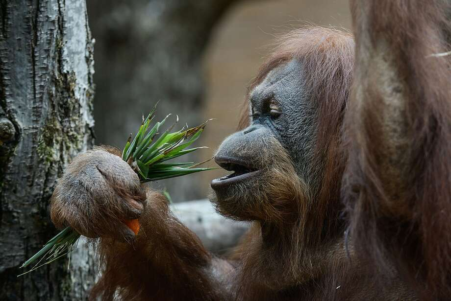 Giant pandas swear this is delicious, so ... An orangutan prepares to munch a handful of bamboo leaves at the Bioparco Zoo in Rome. Photo: Giorgio Cosulich, Getty Images