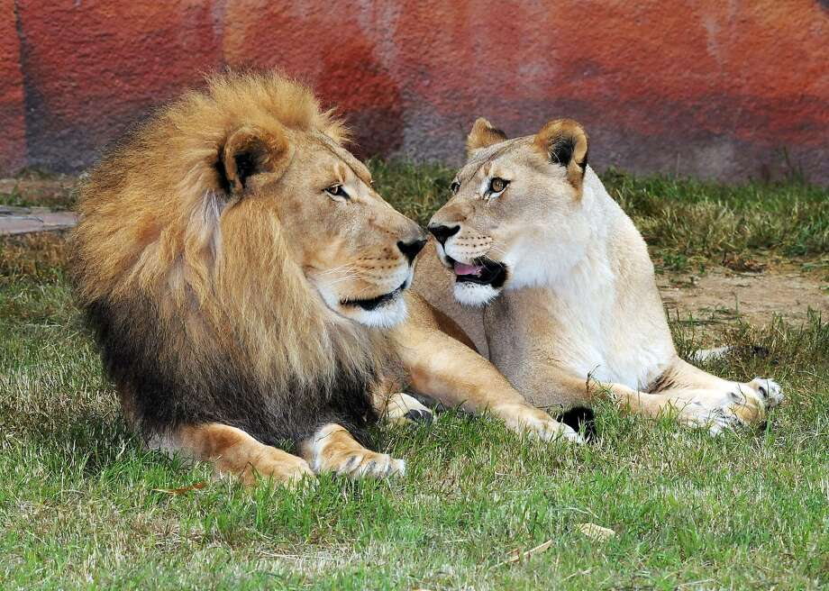 Yes, dear. Whatever you say, dear: Hubert the henpecked lion gets an earful from his long-time mate, Kalisa, in their 