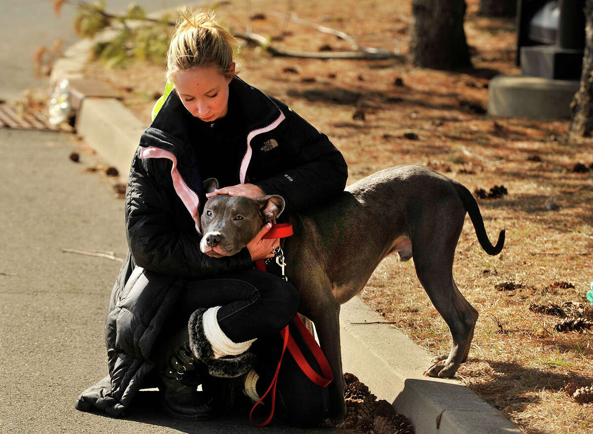 Volunteer Anya Kopchinsky pets one of four Staffordshire Terriers on Monday, March 17, 2014, that was left at the animal care and control shelter in Stamford, Conn., while giving him a walk.