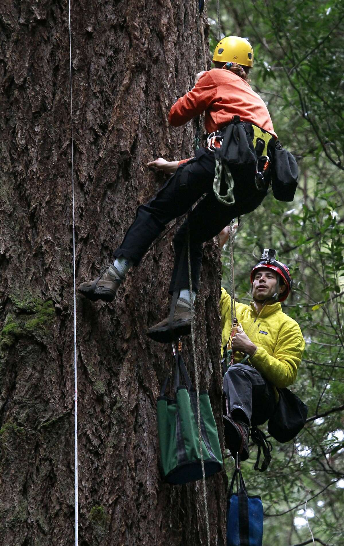 Rikke Naesborg (top) and her husband Cameron Williams ascend a 235-foot Douglas fir for a research study at Muir Woods National Monument on Friday, March 28, 2014. The project is part of BioBlitz, a 24-hour environmental program with conservation groups and scientists from around the Bay Area and the country converging on the Golden Gate National Recreation Area to study a variety of issues.