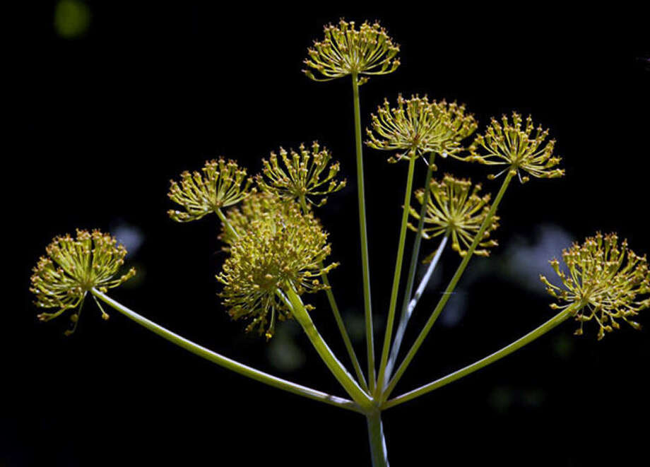 An active ingredient in the Thapsia garganica, a Mediterranean plant, is the basis of G-202. Photo: Courtesy Photo