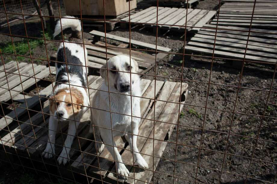 In this image released on Friday, March 28, 2014, Archi, left, and Glasha, stray dogs, look from their open-air cage at Povodog Animal Shelter for stray dogs in Sochi, Russia, on Thursday, March 13, 2014. Humane Society International worked with the PovoDog in Sochi, site of the 2014 Winter Olympics, to transport and place the dogs from the city streets to the United States. Photo: Alexander Zemlianichenko Jr, Associated Press / AP IMAGES
