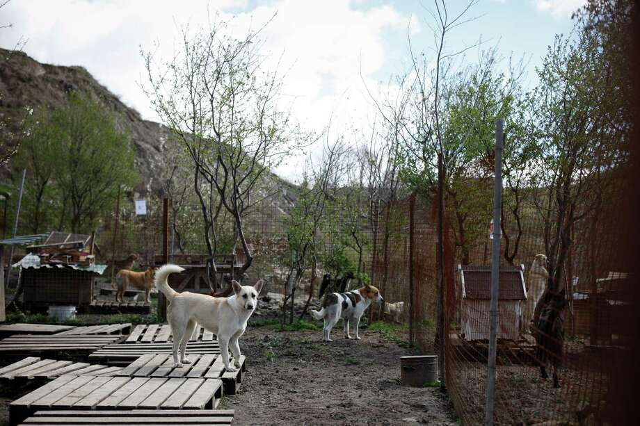 Glasha, on foreground, a stray dog, looks from her open-air cage at Povodog Animal Shelter for stray dogs in Sochi, Russia, on Thursday, March 13, 2014. Humane Society International worked with the PovoDog in Sochi, site of the 2014 Winter Olympics, to transport and place the dogs from the city streets to the United States. Photo: Alexander Zemlianichenko Jr, Associated Press / AP IMAGES