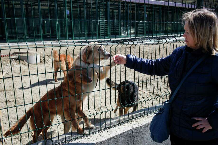 Dogs welcome Tatiana Shalimova, an animal activist, at Povodog Animal Shelter for stray dogs in Sochi, Russia, on Thursday, March 13, 2014. Humane Society International worked with the PovoDog in Sochi, site of the 2014 Winter Olympics, to transport and place the dogs from the city streets to the United States. Photo: Alexander Zemlianichenko Jr, Associated Press / AP IMAGES
