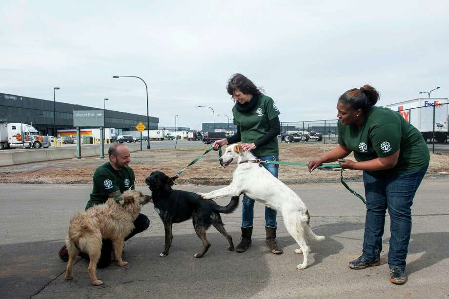 Adam Parascandola, Alexandra Rothlisberger and Tia Pope, all with the Humane Society International, inspect the dogs after their arrival from Sochi, Russia, on Thursday, March 27, 2014 at Dulles International Airport in Sterling, Va. HSI worked with the PovoDog Animal Shelter in Sochi, site of the 2014 Winter Olympics, to transport and place the dogs from the city streets to the United States. Photo: Kevin Wolf, Associated Press / AP Images