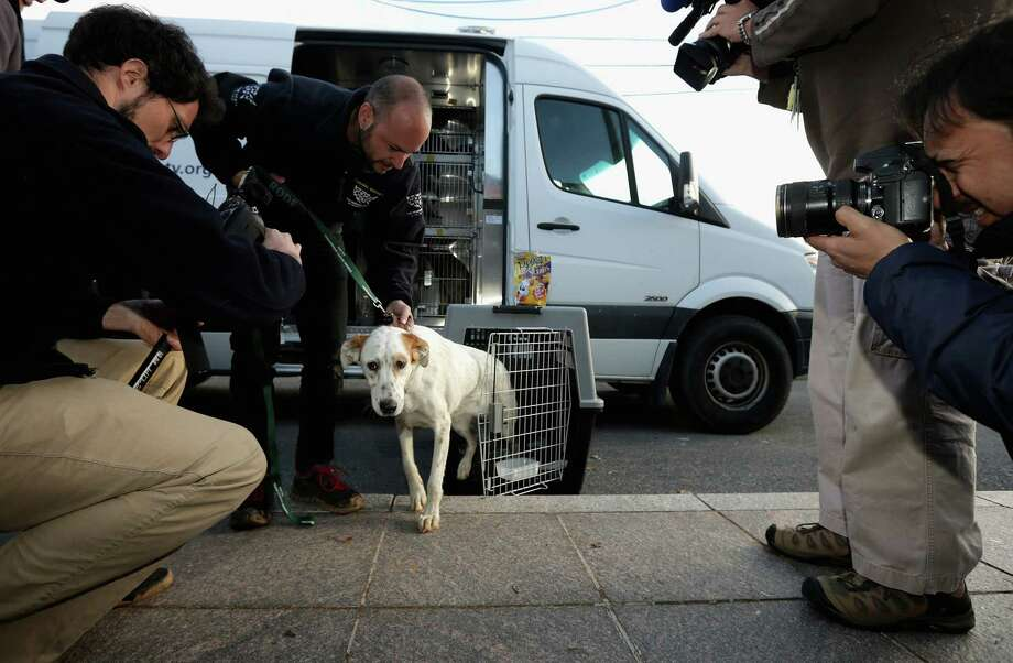 A stray dog from Sochi, Russia, steps out of its travel crate in front of a group of journalists after arriving at the Washington Animal Rescue League shelter March 27, 2014 in Washington, DC. The league partnered with Humane Society International to bring 10 rescued dogs from Sochi, Russia displaced during the Winter Olympics and find homes for the animals in the United States. Photo: Chip Somodevilla, Getty Images / 2014 Getty Images