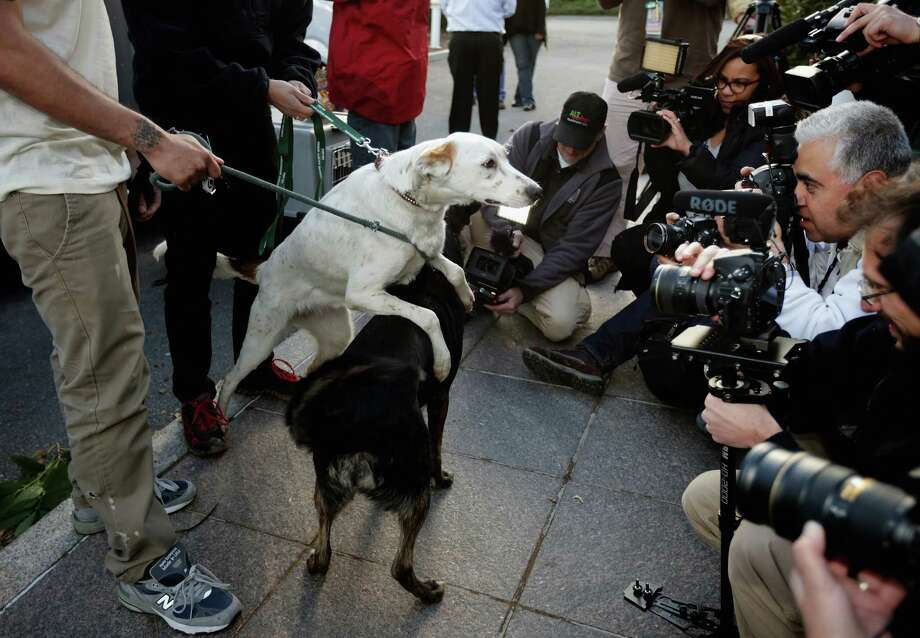 Two stray dogs from Sochi, Russia, interact in front of a group of journalists after arriving at the Washington Animal Rescue League shelter March 27, 2014 in Washington, DC. The league partnered with Humane Society International to bring 10 rescued dogs from Sochi, Russia displaced during the Winter Olympics and find homes for the animals in the United States. Photo: Chip Somodevilla, Getty Images / 2014 Getty Images