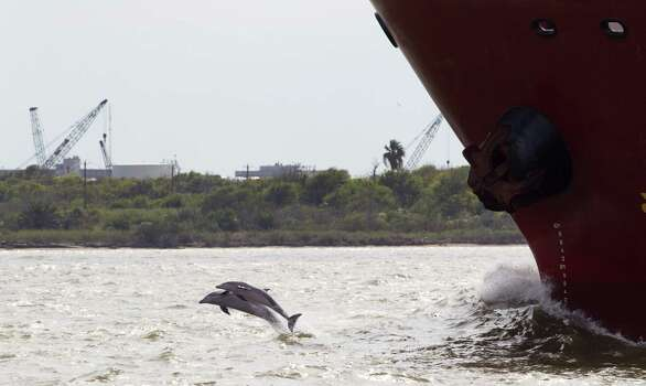 A pair of dolphins leap out of the water in front of a ship near Pelican Island in Galveston Bay Thursday, Oct. 18, 2012, in Galveston. A coal port is being planned for the island in Galveston Bay better known for flounder fishing and Seawolf submarine park. ( Brett Coomer / Houston Chronicle ) Photo: Brett Coomer, Houston Chronicle / © 2012 Houston Chronicle