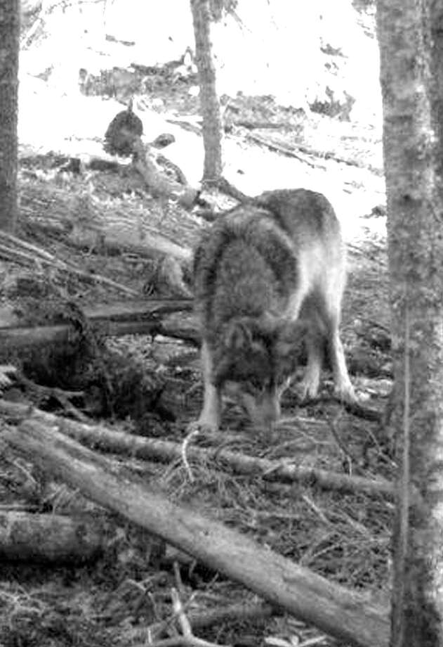 FILE - This Nov. 14, 2011 file photo from a hunter's trail camera appears to show OR-7, the young male wolf that has wandered more than 1,000 miles across Oregon and Northern California looking for a mate and a new home. This wolf dubbed OR-7 has long exceeded his 15 minutes of fame. And despite intense public interest, he could soon fade from the spotlight. The Global Positioning System collar that has sent regular electronic pulses to reveal his travels for the past three years has eclipsed its normal life span, and state and federal biologists don't plan to replace it. Photo: Allen Daniels, AP / Mail Tribune