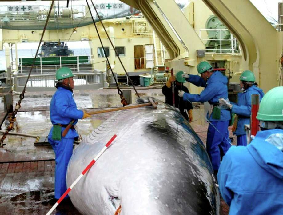 In this Feb. 8, 2009 file photo released by Japan's Institute of Cetacean Research workers measure a captured mink whale on the deck of Japanese whaling ship, the Nisshin Maru, as Sea Shepherd's ship, the M/Y Steve Irwin, partly seen at left top, follows from behind in the Ross Sea, off Antarctica. The greatest threat to Japan's whaling industry may not be the environmentalists harassing its ships or the countries demanding its abolishment, but Japanese consumers. The amount of whale meat stockpiled for lack of buyers has nearly doubled over 10 years, even as anti-whaling protests helped drive catches to record lows. More than 2,300 mink whales worth of meat is sitting in freezers while whalers still plan to catch another 1,300 whales per year. Uncertainty looms ahead of an International Court of Justice ruling expected Monday, March 27, 2014 over a 2010 suit filed by Australia, which argues that Japan's whaling - ostensibly for research - is a cover for commercial hunts. Photo: Uncredited, AP / A2009