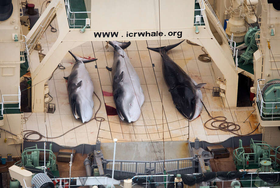 FILE - In this Jan. 5, 2014 file photo and released by Sea Shepherd Australia, three dead mink whales lie on the deck of the Japanese whaling vessel Nisshin Maru, in the Southern Ocean. The greatest threat to Japan's whaling industry may not be the environmentalists harassing its ships or the countries demanding its abolishment, but Japanese consumers. The amount of whale meat stockpiled for lack of buyers has nearly doubled over 10 years, even as anti-whaling protests helped drive catches to record lows. More than 2,300 mink whales worth of meat is sitting in freezers while whalers still plan to catch another 1,300 whales per year. Uncertainty looms ahead of an International Court of Justice ruling expected Monday, March 27, 2014 over a 2010 suit filed by Australia, which argues that Japan's whaling - ostensibly for research - is a cover for commercial hunts. (AP Photo/Sea Shepherd Australia, Tim Watters)  Photo: Tim Watters, AP / AP2014