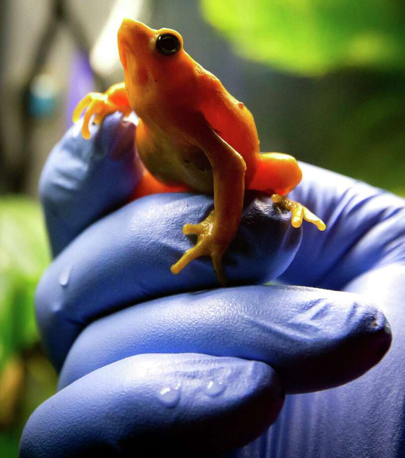 Vancouver Aquarium director of animal operations Dr. Dennis Thoney holds a Panamanian golden frog at the aquarium in Vancouver, British Columbia on Thursday March 27, 2014. The aquarium has successfully bred the frogs, thought to be extinct in the wild, as part of a worldwide effort to preserve the species. They are native to the mountainous, higher-altitude regions of western-central Panama and the goal is to eventually re-populate their natural habitat in the country. Photo: DARRYL DYCK, AP / AP2014