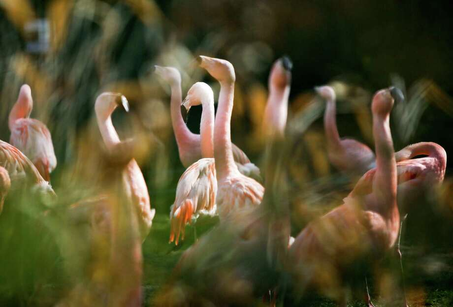 German police are hunting a killer responsible for the death of 15 flamingos at Frankfurt Zoo, some of which were beheaded as they slept. The culprit, or culprits, struck twice, both times at night. Keepers found nine of the long-necked, pink birds dead in their enclosure on Friday, March 21, 2014 and another six Saturday, March 22, 2014. In this April 12, 2012 file photo flamingos stand in their compound at the zoo in Frankfurt, central Germany. Photo: Frank Rumpenhorst, AP / AP2012