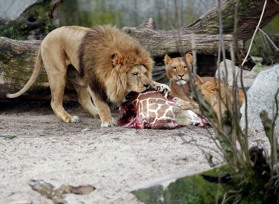 "This is a Sunday, Feb. 9, 2014 file photo of the carcass of Marius, a male giraffe, as it is eaten by lions after he was put down in Copenhagen Zoo. The zoo that faced protests for killing a healthy giraffe to prevent inbreeding says it has put down four lions, including two cubs, to make room for a new male lion.  Citing the ""pride's natural structure and behavior, the Copenhagen Zoo said Tuesday March 25, 2014 that two old lions had been euthanized as part of a generational shift. It's not known if the lions photographed are the ones that were put down by the zoo. (AP Photo/POLFOTO, Rasmus Flindt Pedersen, File) Photo: Pedersen Rasmus Flindt, AP / A2014"