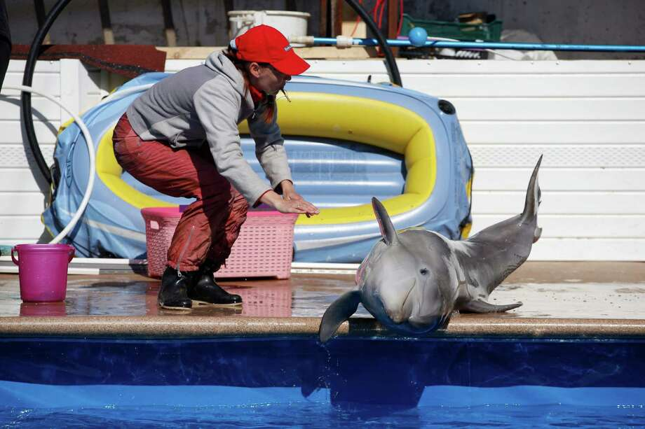An employee of the Sevastopol State Oceanarium  trains a dolphin, in Sevastopol, Crimea, Sunday, March 30, 2014. A Soviet-era military program training dolphins and seals for combat will be revived in Crimea after its annexation by Russia, according to Russian state media. Photo: Pavel Golovkin, AP / AP