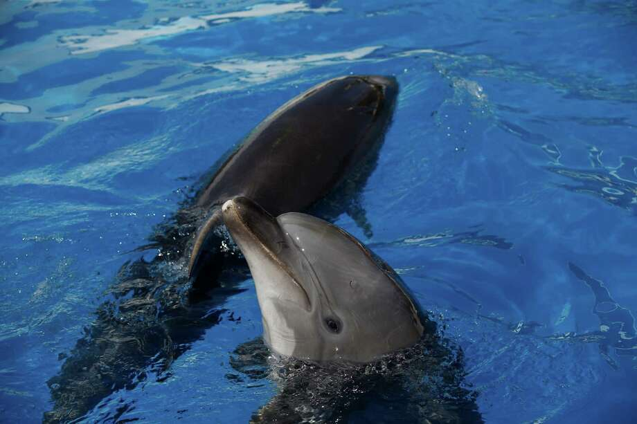 Dolphins play, at the Sevastopol State Oceanarium in Sevastopol, Crimea, Sunday, March 30, 2014. A Soviet-era military program training dolphins and seals for combat will be revived in Crimea after its annexation by Russia, according to Russian state media. Photo: Pavel Golovkin, AP / AP
