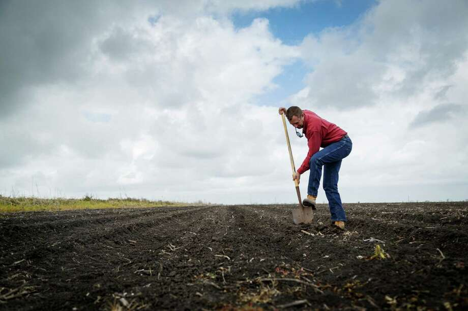 Kirby Savage checks his corn stand in what was once a rice field in Bay City.  Corn takes less water to grow. Photo: Michael Paulsen, Staff / © 2014 Houston Chronicle