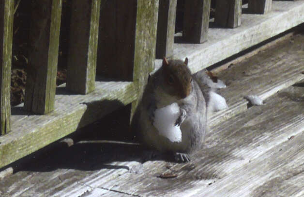 Well, maybe it?s not the same as an ice cream, but a nice cold chunk of snow will have to do for this squirrel visiting Glenmont resident Carol Lezatte?s deck this winter.  (Carol Lezatte)