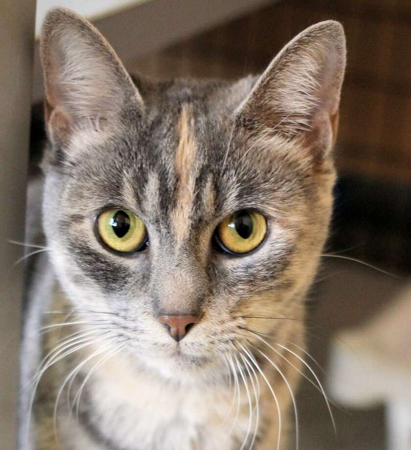 Renee is a petite and lovable dilute tortie. (Mary Lou Baker)
