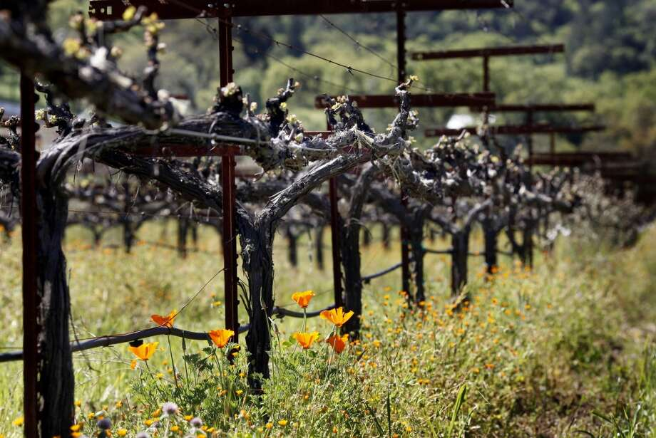 A view of the Sauvignon Blanc vines at Quivira Vineyards. Quivira is an established Dry Creek Valley estate that is run biodynamically as a self-contained farm. Sonoma County winegrowers plan to be 100 percent sustainable in five years time. Photo: Brant Ward, The Chronicle