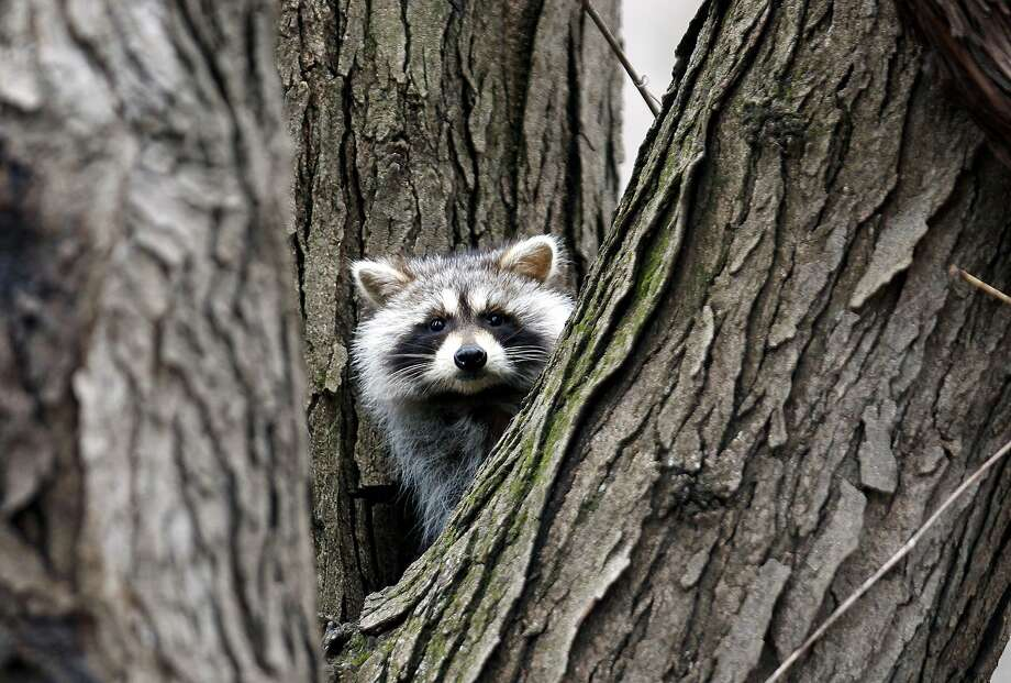 I'm in a tree now, but I plan to be in your garbage can tonight:A tree-climbing raccoon watches a human take its picture in Waterloo, Iowa. Photo: Courtney Collins, Associated Press