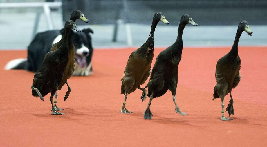 I'm much better with sheep, but whatever: A border collie herds geese during an 