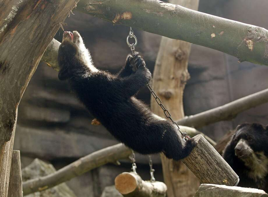He flies through the air with the greatest of ease ... that daring young spectacled bear on the chained log trapeze. (Zoo in Duisburg, Germany.) Photo: Roland Weihrauch, AFP/Getty Images