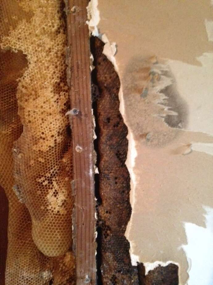 Beekeepers think the hive made be twenty feet high and contain up to 500,000 bees. Photo: Brent Wallace