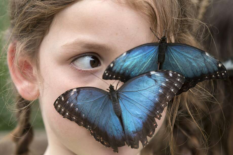 Butterflies are free-flying:A 6-year-old girl named Isla gets a face full  of Morpho peleides in the Natural History Museum's outdoor butterfly house in London. The temporary attraction houses hundreds of rare butterflies through mid-September. Photo: Oli Scarff, Getty Images