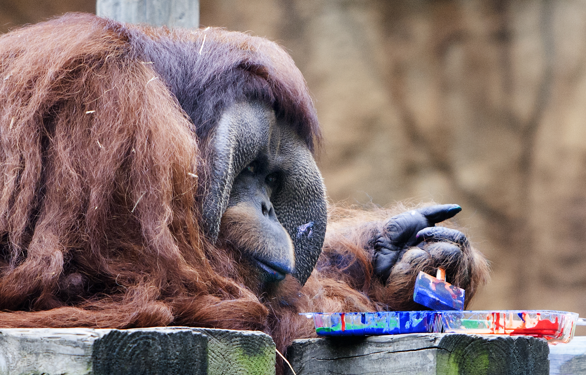 Houston Zoo Finds Out Orangutan Is Obsessed With Painting
