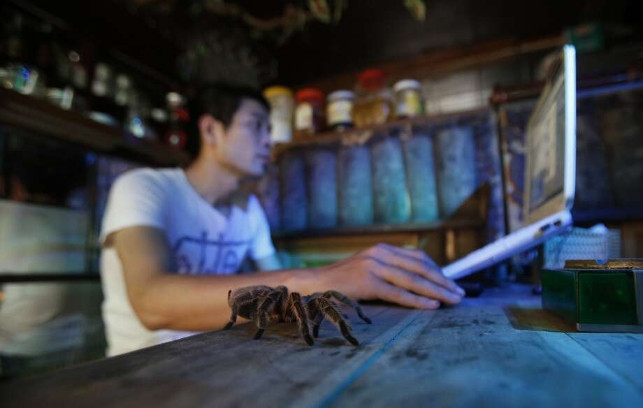 Dang. Hate these web crawlers: At the Pet Cafe, Hanoi's first critter cafe, customers are invited to interact with wild animals such as snakes, hedgehogs and tarantulas - at their own risk, presumably. Photo: Kham, Reuters
