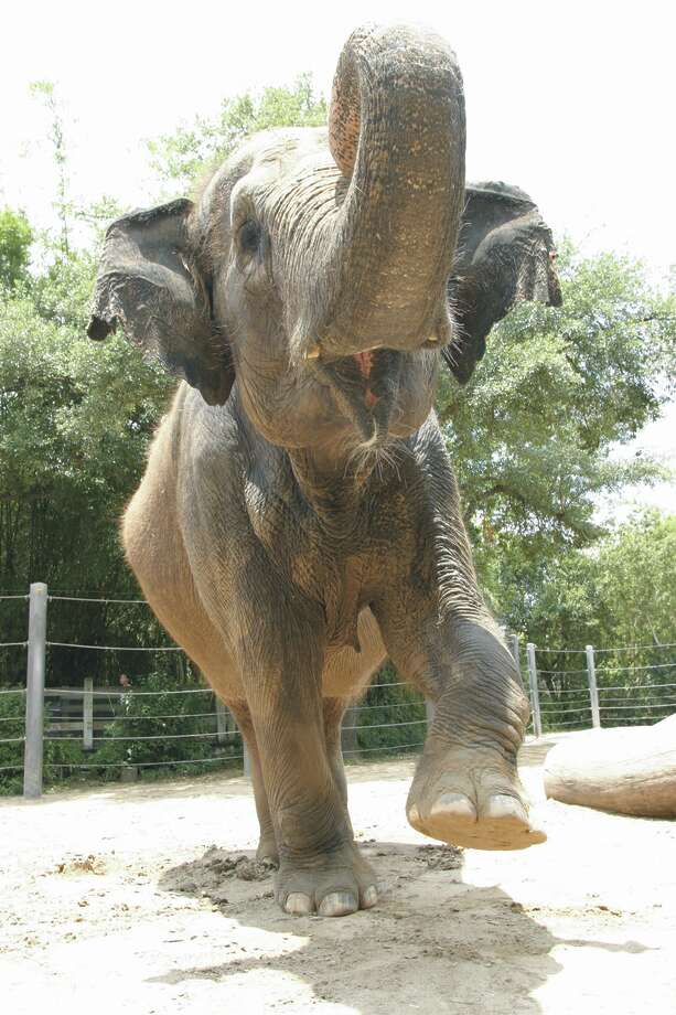 Pictures of an elephant bring luck, but only if they face a door. Photo: Houston Zoo