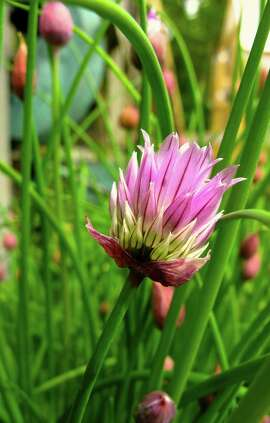Chives produce clusters of 1-inch, lavender to pink flowers atop 12- to 18-inch stems.