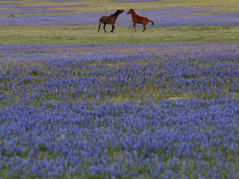 Horses play as they graze in a field of bluebonnets near Luling on Monday, March 31, 2014. The property and horses are owned by Linda Haynes. Photo: Lisa Krantz, SAN ANTONIO EXPRESS-NEWS / SAN ANTONIO EXPRESS-NEWS