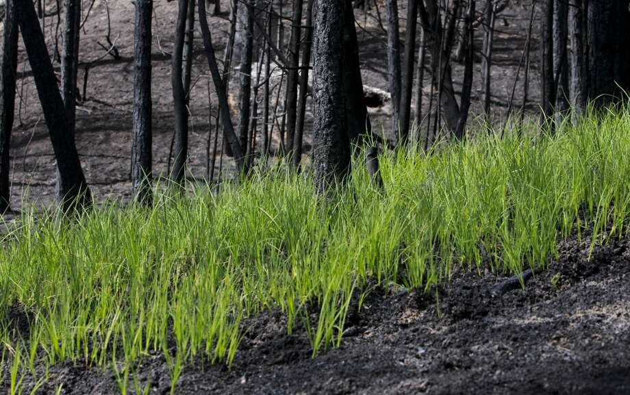 Signs of life as grass grows through the ash along Cherry Lake Road near Groveland, Calif., on Wednesday Sept. 25, 2013, following the massive Rim Fire which erupted on August 17, 2013 and has burned more than 257,000 acres. Photo: Michael Macor, The Chronicle