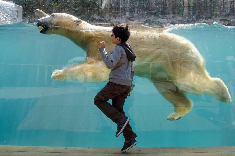 Race you to the wall!A boy keeps pace with a swimming polar bear at the Mulhouse Zoo in 