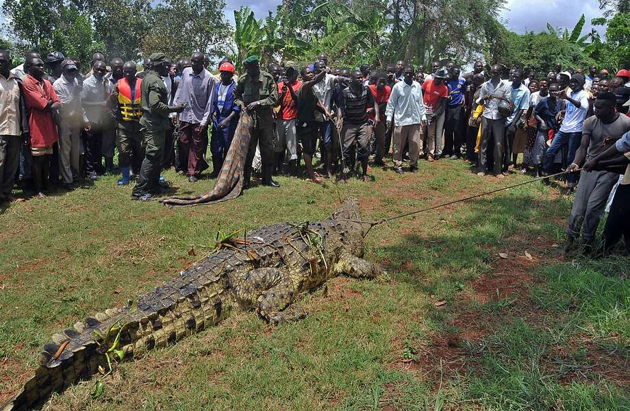 The lassoing is the easy part: It's hog-tying the crocodile that gives reptile wranglers