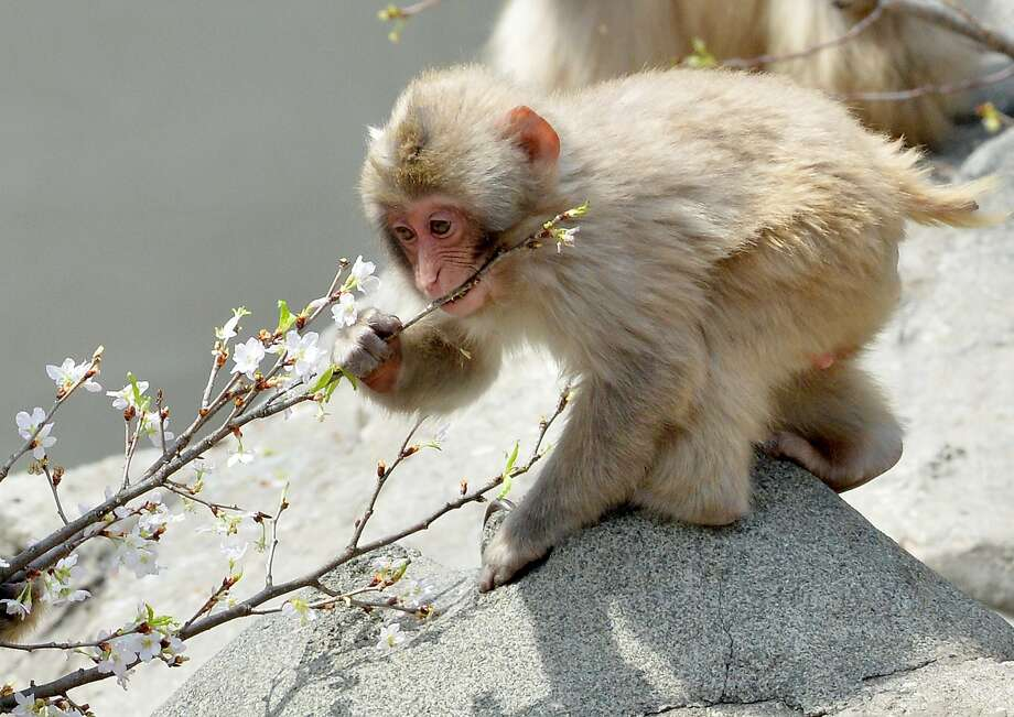 Plant of the apes: The cherry blossoms at Tokyo's Ueno Zoo are beautiful in early April before they are devoured by the monkeys. Photo: Yoshikazu Tsuno, AFP/Getty Images