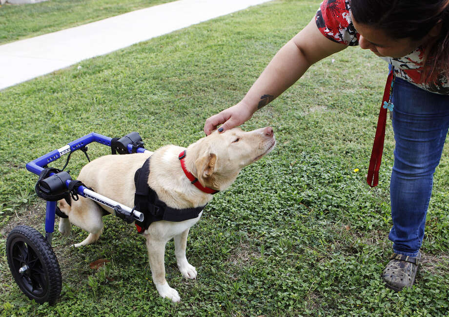 Angel, a 2-year-old Lab mix, roams the grounds of Animal Care Services in her wheelchair provided by an anonymous donor. Photo: Cynthia Esparza / For The San Antonio Express-News / FOR THE SAN ANTONIO EXPRESS-NEWS