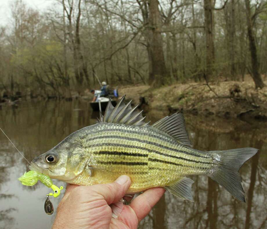 Smaller cousins of the more populous and popular white bass, yellow bass are just as game a fish on light tackle and far superior on the table. Photo: Picasa