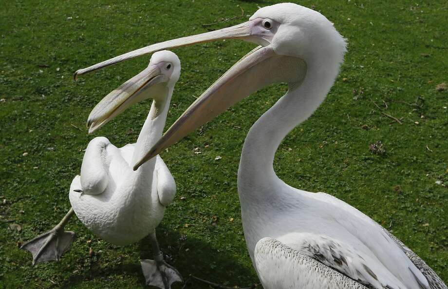 Bet I can fit your head in my bill:Stop pelican bullying now! (St. James's Park in London.) Photo: Kirsty Wigglesworth, Associated Press