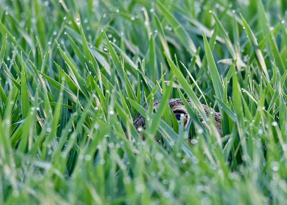 Now where did that wily wabbit get to? Hiding from potential predators, a hare keeps a low profile in the wet grass of a field near Sachsendorf, Germany. Photo: Patrick Pleul, AFP/Getty Images