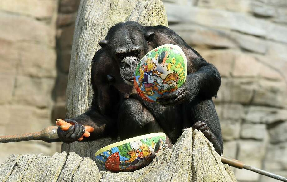 Happy 80th birthday, Jane Goodall! Thanks for all you have done to help the world's primates. We're sure Viktoria would agree if she weren't busy opening her Easter egg at the Hanover Zoo in Germany. Photo: Holger Hollemann, Associated Press