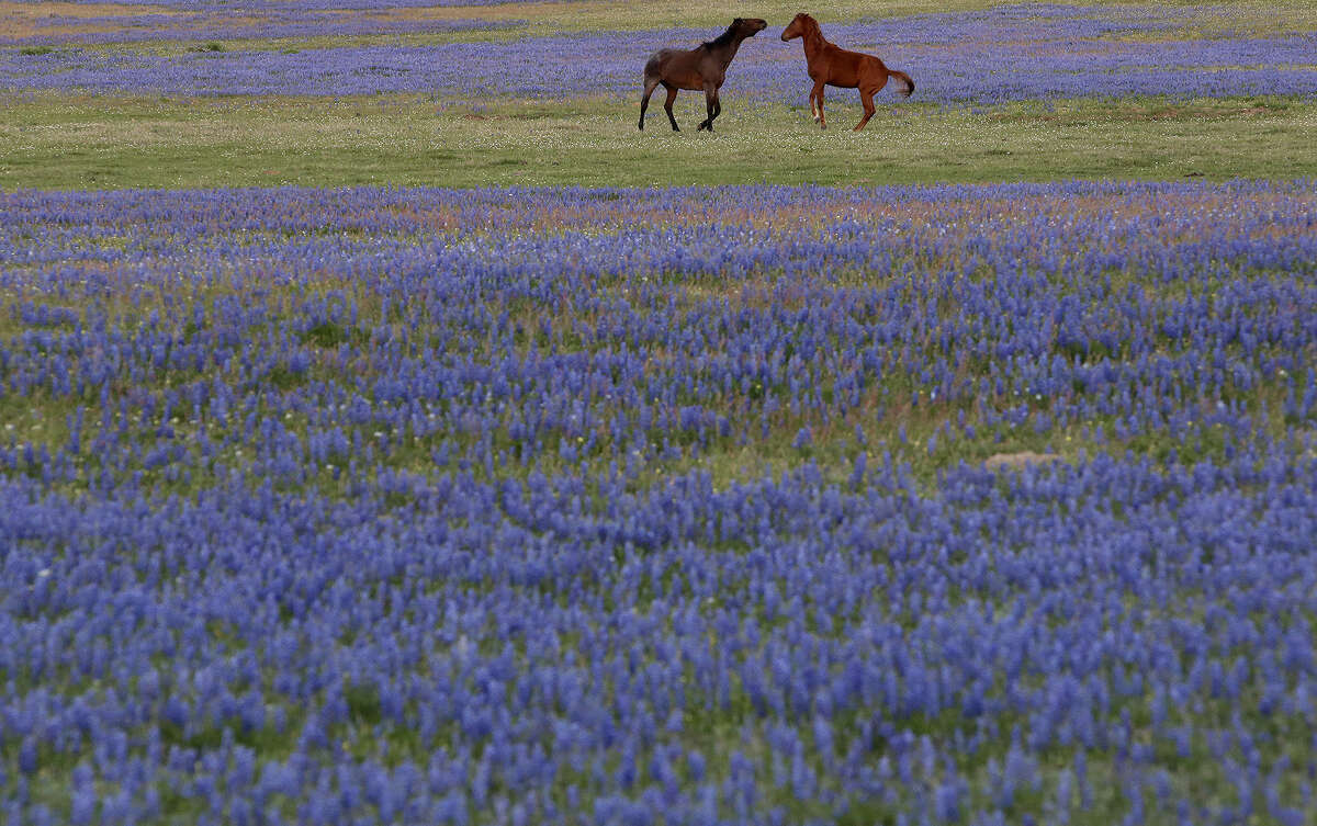 B is for Bluebonnets April showers bring May flowers, but every spring, Texas is in for a huge makeover as highways and fields turn blue from our state flower.