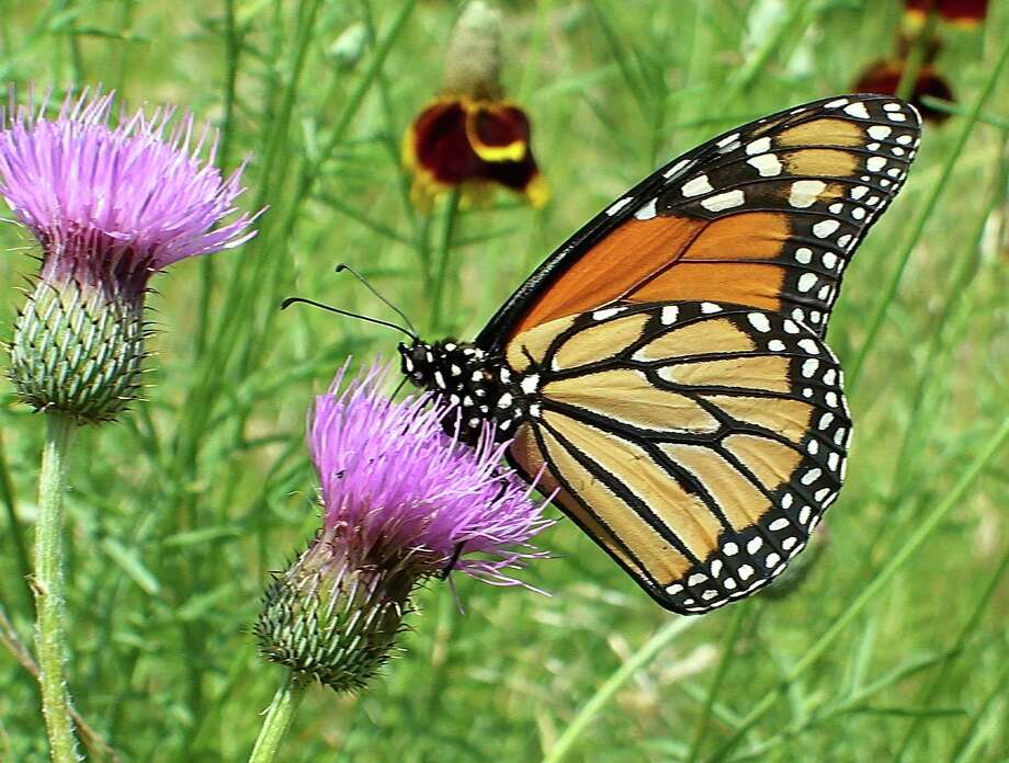 This female monarch stopped by the Mims place on its way to deposit eggs on milkweed leaves. Photo: Forrest M. Mims III / For The Express-News / San Antonio Express-News