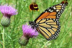 This female monarch stopped by the Mims place on its way to deposit eggs on milkweed leaves.