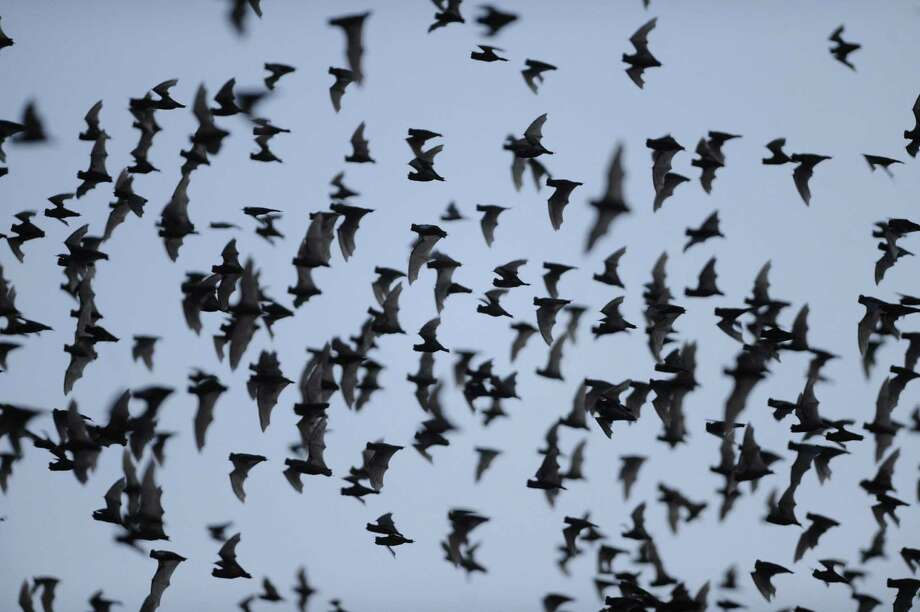 Millions of Mexican free-tailed bats emerge from the Bracken Bat Cave, which sits on land eyed for development. Now, bat advocacy groups are gearing up to save the flying mammals. Photo: Billy Calzada / San Antonio Express-News / San Antonio Express-News