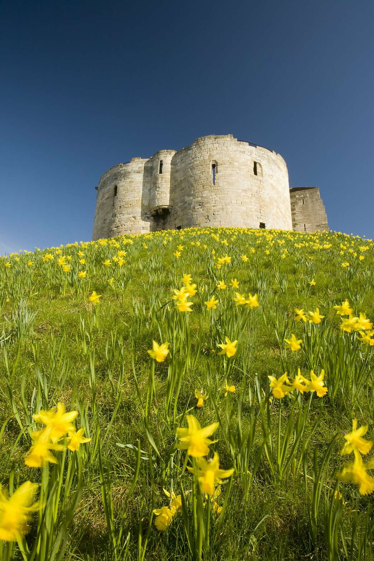 Looking up a hill carpeted in daffodils towards York Castle, also known as Clifford's Tower, in North Yorkshire.