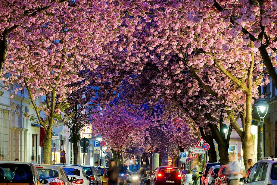 Cherry Bonn:The cherry tree blossoms in Bonn, Germany, are as beautiful as those in Tokyo, even if 